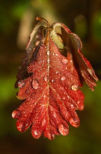 Dew-covered White oak leaf {Quercus alba} with dew, New Jersey, USA  -  Doug Wechsler