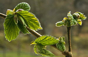 Emerging leaves of Hazel {Corylus avellana} Scotland, UK - Duncan Mcewan