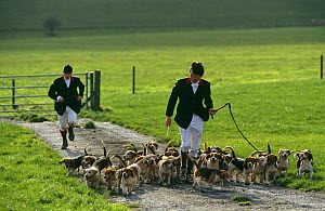 Huntsmen with Wiltshire and Infantry beagles on the Wiltshire Downs, UK, 2000  -  David Kjaer