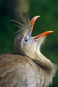Red legged seriema {Cariama cristata} calling, captive, from South America  -  Rod Williams