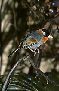 Silver eared mesia {Leothrix argentauris} male, captive, from Asia  -  Rod Williams