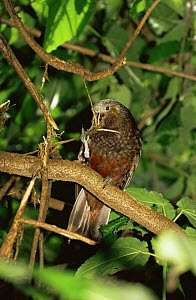 Kaka, North Island race {Nestor meridionalis septentriolanis}, from Kapiti Is, New Zealand - Rod Williams