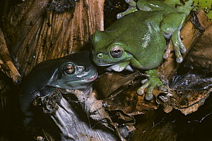 White's / Green tree frog {Litoria caerulea} pair, male on left, female on right, captive, from New Guinea and Australia  -  Rod Williams