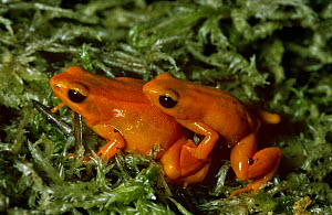 Golden mantella frog {Mantella aurantiaca} pair, male on right, female on left, captive, from Magasgar  -  Rod Williams