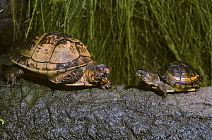 Three toed box turtle {Terrapene carolina triunguis} adult male with young, captive, from SE USA  -  Rod Williams