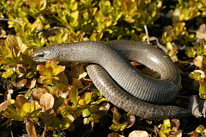 Slow-worm {Anguis fragilis} uncoiling, Wales, UK - Dave Bevan