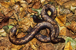 Calabar ground python {Calabaria reinhardtii} defensive behaviour with head hidden and tail exposed to resemble head, captive, from West Africa  -  Rod Williams