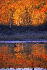 Freshwater wetland landscape with Canada geese in autumn, New York, USA - Lynn M Stone