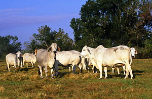 Domestic cattle, Brahman cows, Florida, USA  -  Lynn M Stone