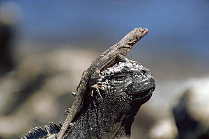 Lava lizard {Tropidurus sp} basking on the head of a Marine iguana {Amblyrhynchus cristatus} Galapagos  -  John Sparks
