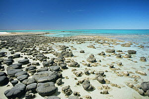 Stromatolites exposed on beach at low tide, Shark Bay, Western Australia - Michael Pitts