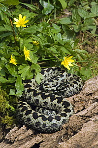 Adder (Vipera berus) Male basking on log in spring, next to Celandine flowers, West Sussex, UK April  -  Andy Sands