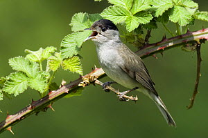 Blackcap (Sylvia atricapilla) Male singing, Hertfordshire, UK April - Andy Sands