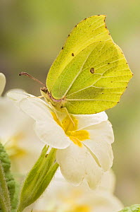 Brimstone butterfly (Goneopteryx rhamni) Male at rest on Primrose flower, West Sussex, UK April  -  Andy Sands
