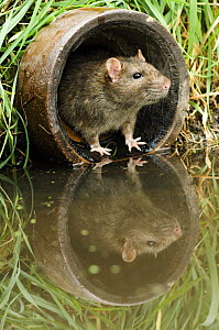 Brown rat (Rattus norvegicus) looking out from old pipe, captive, UK, April - Andy Sands