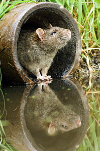 Brown Rat (Rattus norvegicus) Sniffing air from old pipe, Captive, UK April  -  Andy Sands