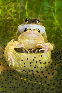 Common frogs (Rana temporaria) Pair in amplexus among frogspawn, Captive, UK, March  -  Andy Sands