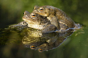 Common european toad (Bufo Bufo) Pair in amplexus in pond, Hertfordshire, UK, March  -  Andy Sands