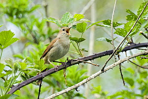 Nightingale (Luscinia megarhynchos) Male singing among brambles, Sussex, UK April - Andy Sands