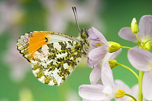 Orange Tip (Anthocaris cardamines) Male at rest on Cuckoo flower / Lady's smock, West Sussex, UK April  -  Andy Sands