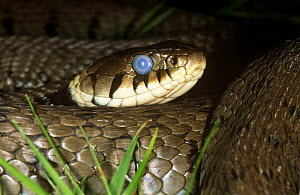 Grass snake {Natrix natrix} male with eyes glazed prior to moulting, Surrey, UK  -  Tony Phelps