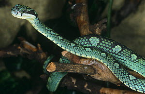 Sri Lankan pit viper {Trimeresurus trigonocephalus} on log, captive, from Sri Lanka  -  Tony Phelps