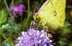 Clouded yellow butterfly (Colias croceus) showing its yellow compound eyes and proboscis probing the flower, UK - PREMAPHOTOS