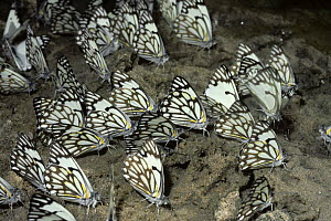 Pioneer white butterflies (Anaphaeis / Belenois aurota) drinking from damp ground in desert while on migration, South Africa  -  PREMAPHOTOS