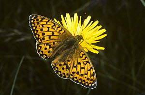 Dark-green fritillary butterfly (Argynnis aglaja) feeding from Hawkbit flower  UK  -  PREMAPHOTOS