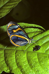 Blue transparent butterfly (Ithomia pellucida) feeding from a small bird-dropping in rainforest, Trinidad  -  PREMAPHOTOS