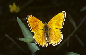 Scarce copper butterfly (Heodes / Lycaena virgaureae) in the Alpes Maritimes, France  -  PREMAPHOTOS