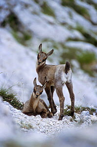 Apennines / Abruzzo chamois (Rupicapra pyrenaica ornata) few days old kids in summer. Endangered, endemic. Abruzzo national Park, Italy - Bruno D'Amicis