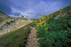 Great yellow gentian (Gentiana lutea) along the path leading to the saddle and cabin of Forca Resuni (1952 metres above sea level) in the Abruzzo national park, Italy  -  Bruno D'Amicis