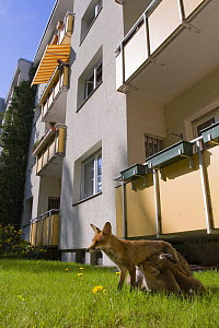 Red fox (Vulpes vulpes) female suckling cubs outside block of flats in a city backyard, Berlin, Germany  -  Bruno D'Amicis