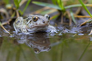 Common spadefoot toad (Pelobates fuscus) beside water, Germany - Bruno D'Amicis