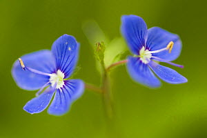 Germander speedwell (Veronica chamaedrys) flowers. Tatra NP, Slovakia  -  Bruno D'Amicis