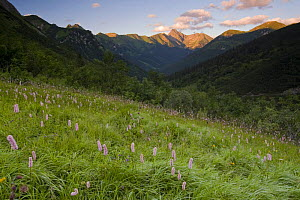 Bistort (Persicaria bistorta) and mountain landscape in the Tomanova valley, Western Tatras, Slovakia  -  Bruno D'Amicis
