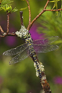 Golden ringed dragonfly (Cordulegaster boltonii) with water drops on back. Scotland, UK 2006  -  Steve Knell