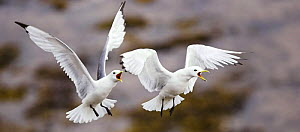 Kittiwakes {Rissa tridactyla} two fighting. UK, 2006  -  Steve Knell