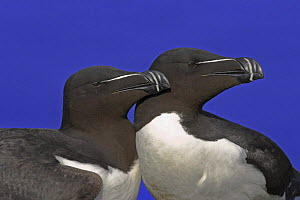 Razorbills {Alca torda} Two looking in same direction, UK, 2006  -  Steve Knell