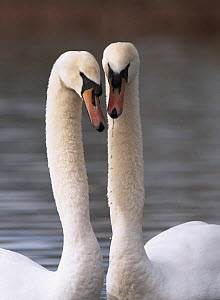 Mute swan (Cygnus olor) Pair in courtship, Gloucestershire, UK, February 2007 - STEVE KNELL