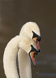 Mute swan (Cygnus olor) Pair in courtship, male on right, Gloucestershire, UK, February 2007 - STEVE KNELL