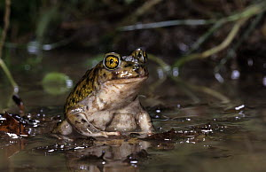 Couch's spadefoot toad (Scaphiopus couchii) captive, from central america,  -  Mark Carwardine