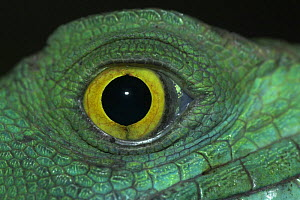 Plumed / Double crested basilisk / Jesus Christ lizard (Basiliscus plumifrons) close up of eye, captive, from rainforests of Central and South America, Bristol Zoo  -  Mark Carwardine