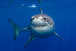 Great white shark (Carcharodon carcharias) underwater, Guadalupe Island, Mexico (North Pacific) - Mark Carwardine