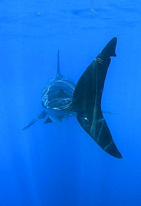 Tailfin of Great white shark (Carcharodon carcharias) underwater, Guadalupe Island, Mexico (North Pacific)  -  Mark Carwardine