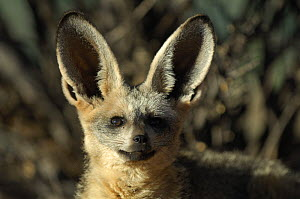 Bat-eared fox (Otocyon megalotis) alert with ears upright, Namib-Naukluft National Park, Namib Desert, Namibia. - Solvin Zankl