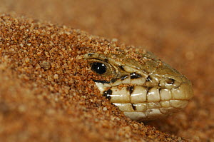 Western three-striped skink (Mabuya occidentalis) peering out from under sand in sand dune, Namib desert, Namibia  -  Solvin Zankl