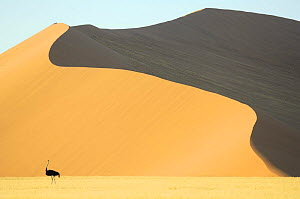 Ostrich (Struthio camelus) with Sesriem Sossusvlei sand dune in the background, Namib desert, Namibia - Solvin Zankl