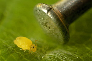 Springtail (Deuterosminthurus pallipes) feeding on fungal hyphae on leaf, with pin head for scale - SINCLAIR STAMMERS